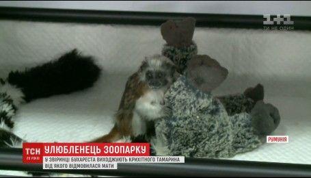 В зоопарке Бухареста у единственного в Румынии семейства обезьян-тамаринов родилась двойня
