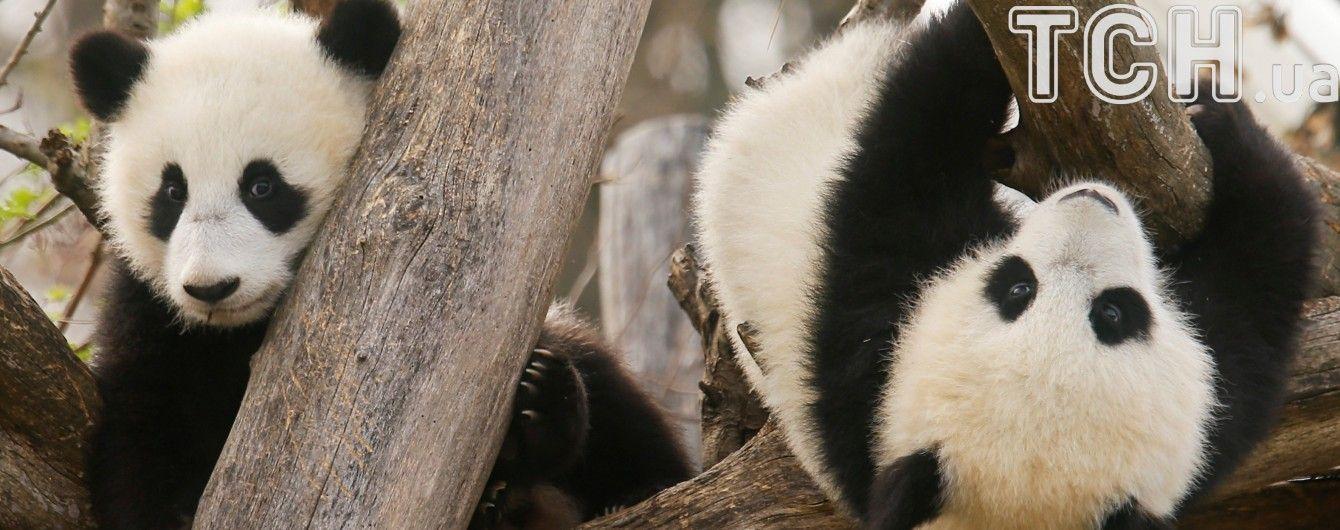 Китай подготовил туристический маршрут по следам панд