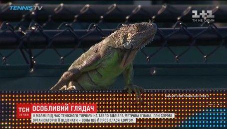 Метровая игуана прервала теннисную игру в Майами