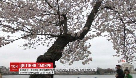 У Вашингтоні розквітла сакура