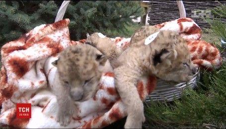 В Бердянську вперше показали новонароджених левенят