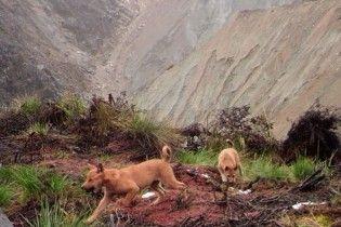 У Новій Гвінеї знайшли один з найдавніших видів диких собак, який не бачили вже понад 50 років