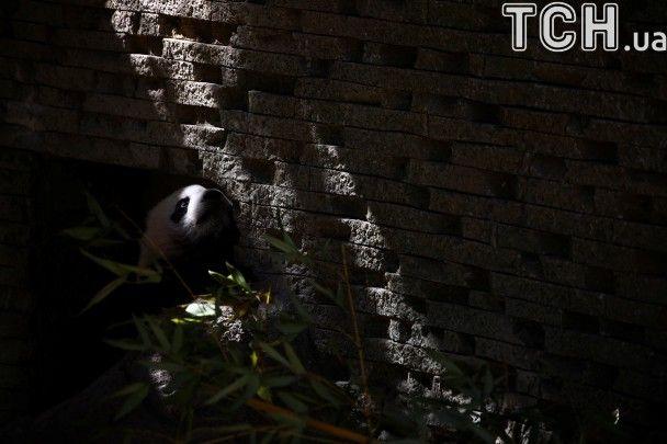 Фотограф показав прогулянку кумедного панденяти у мадридському зоопарку