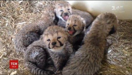 В зоопарку США народилося одразу 10 дитинчат гепардів