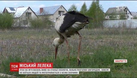В Ужгороді лелека прилітає до людей, аби його нагодували смаколиками