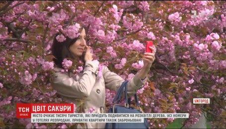 Туристи з лютого почали бронювати житло в Ужгороді, аби побачити цвіт сотень сакур