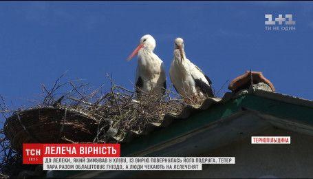До найромантичнішого лелеки Тернопільщини повернулася кохана
