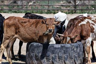 На Житомирщині корова забила на смерть 55-річну селянку