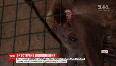 В Одесі народилися диво-собаки, популярність яких постійно зростає
