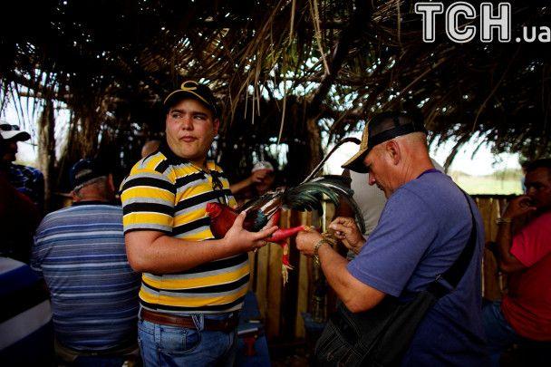 Несмотря на мировое возмущение на Кубе продолжаются петушиные чемпионаты