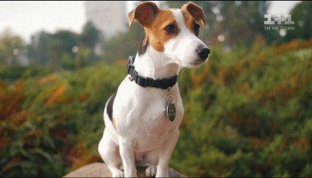 Все, что нужно знать о собаках породы джек-рассел-терьер
