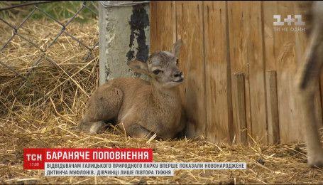 У Галицькому природному парку вперше показали новонародженого муфлончика