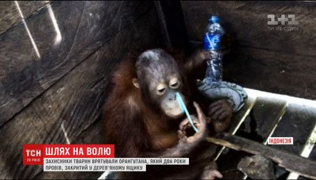 В Індонезії захисники тварин врятували орангутана, який два роки прожив у скрині