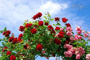 Как вырастить розу