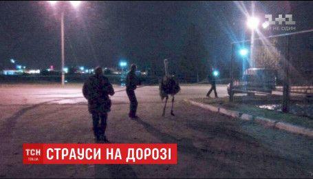 В Днепре патрульным пришлось ловить страусов, которые бегали по шоссе