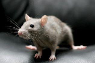 """У київському """"Ашані"""" відвідувачі зняли на відео мишу, яка гризла суші в холодильнику"""