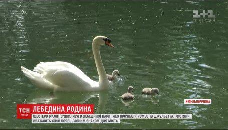 В Каменец-Подольском вылупилось 6 маленьких лебедей на Лебедином озере