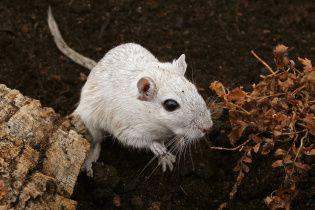 Велика вода: після повені Парижу загрожує нашестя щурів