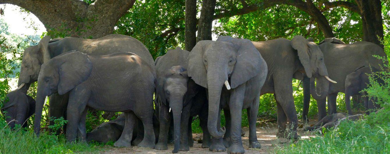 В Таиланде слониха убила хозяина и спрятала его тело