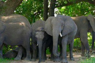 Дикі слони пограбували вантажівку в Таїланді