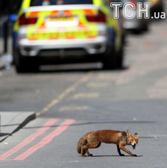 Поруч із місцем теракту в Лондоні несподівано з'явився нажаханий лис