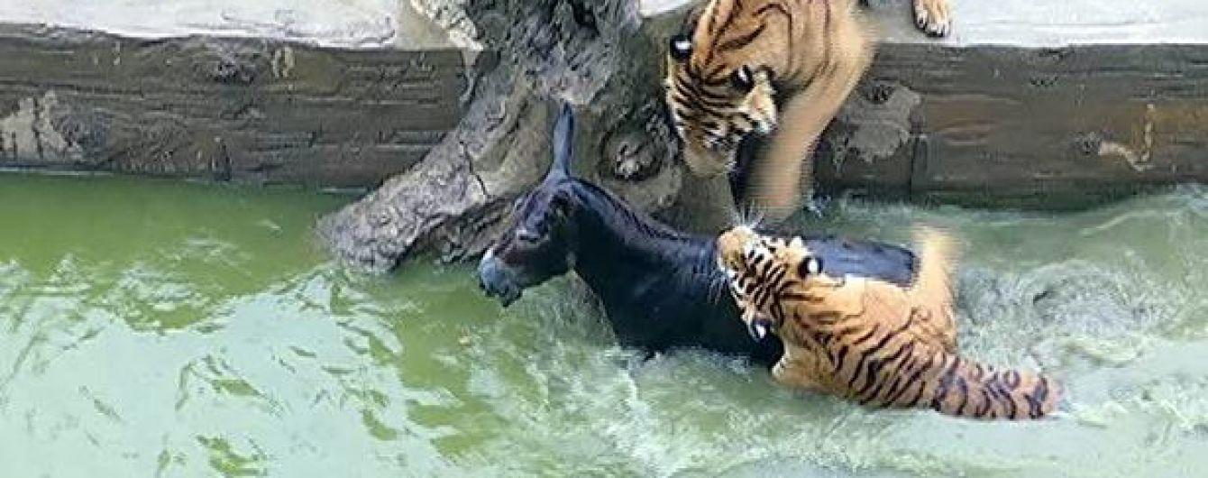 У Китаї розгнівані інвестори зоопарку на очах відвідувачів кинули тиграм живого віслюка