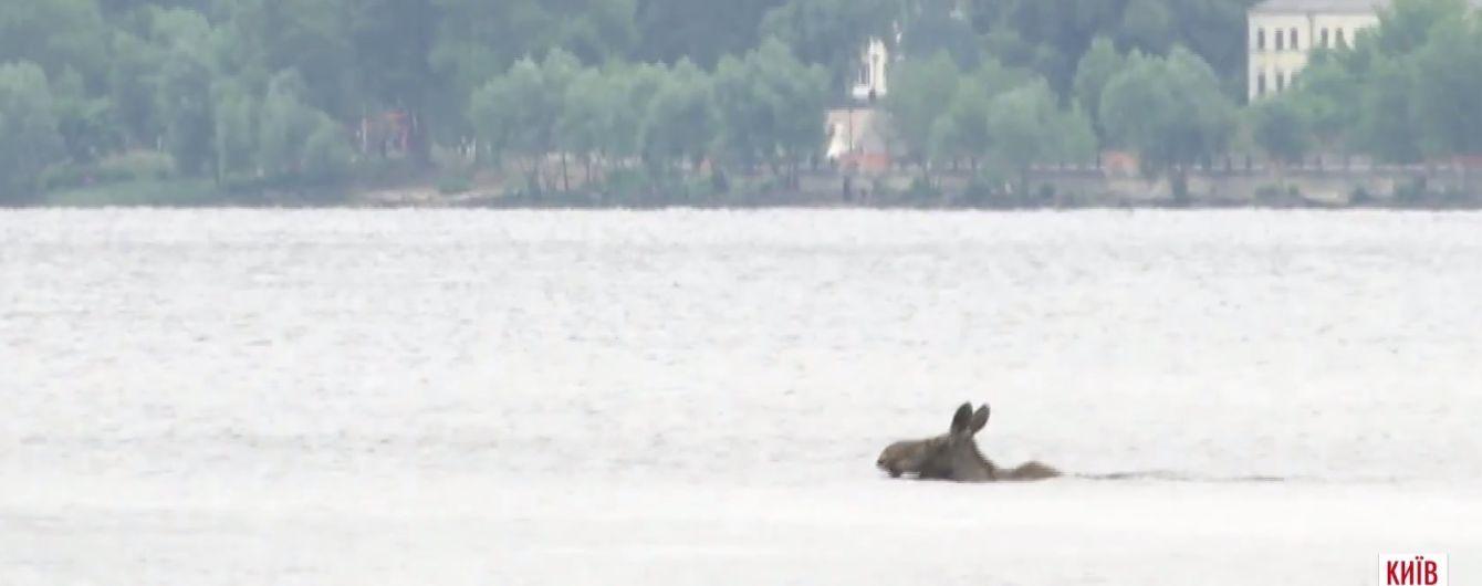 Лось переплыл Днепр в Киеве и убежал в парк Дружбы народов