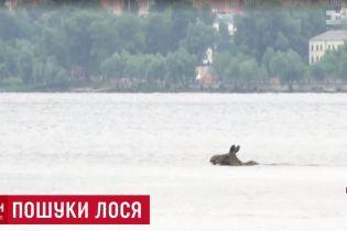 Лось переплив Дніпро в Києві та втік до парку Дружби народів