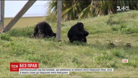 Природозахисники програли суд, намагаючись прирівняти права людини і шимпанзе