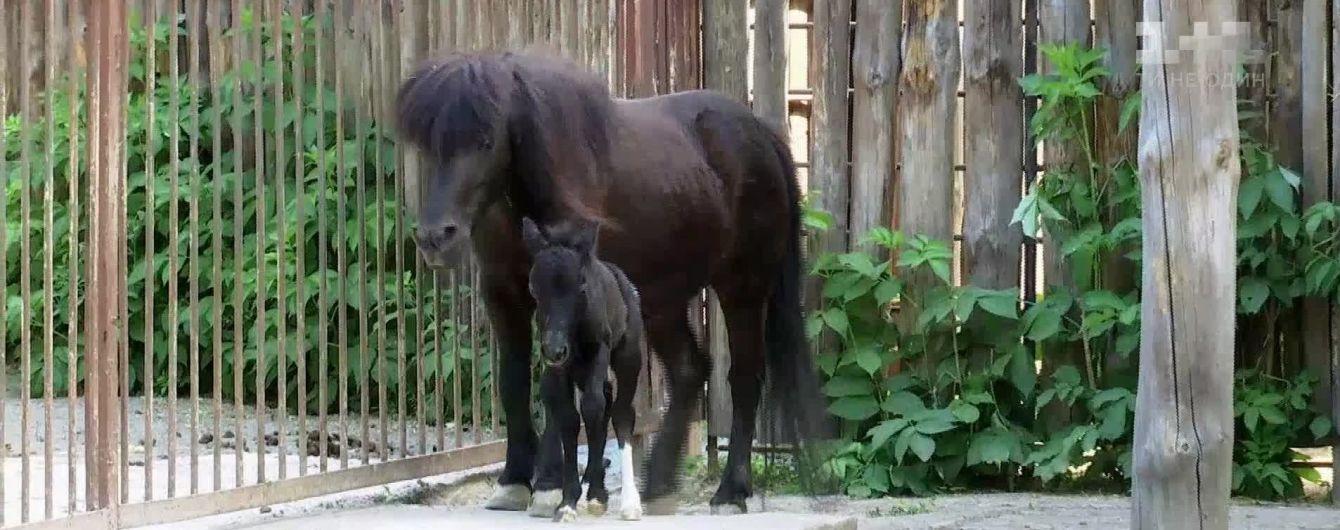 Народженому у Київському зоопарку поні дали автомобільне ім'я