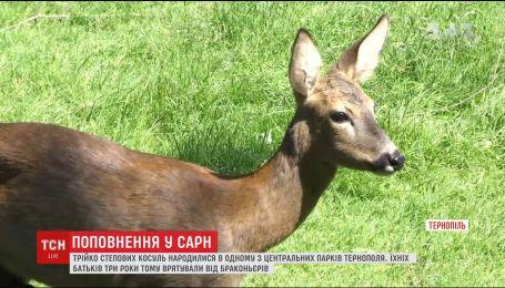 В одном из парков Тернополя родились трое степных косуль