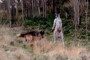 Эпическая битва: в Австралии кенгуру сошелся в поединке с овчаркой