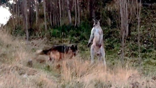 Епічна битва: в Австралії кенгуру зійшовся у двобої з вівчаркою