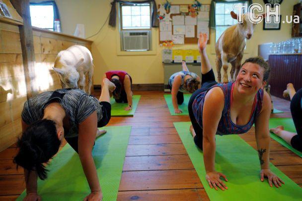 В США активно распространяется мода на йогу с козами