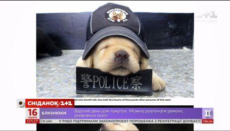 У Тайвані до міліції взяли маленького лабрадора