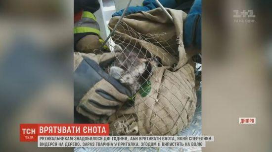 Рятувальники у Дніпрі дві години діставали з дерева наляканого єнота