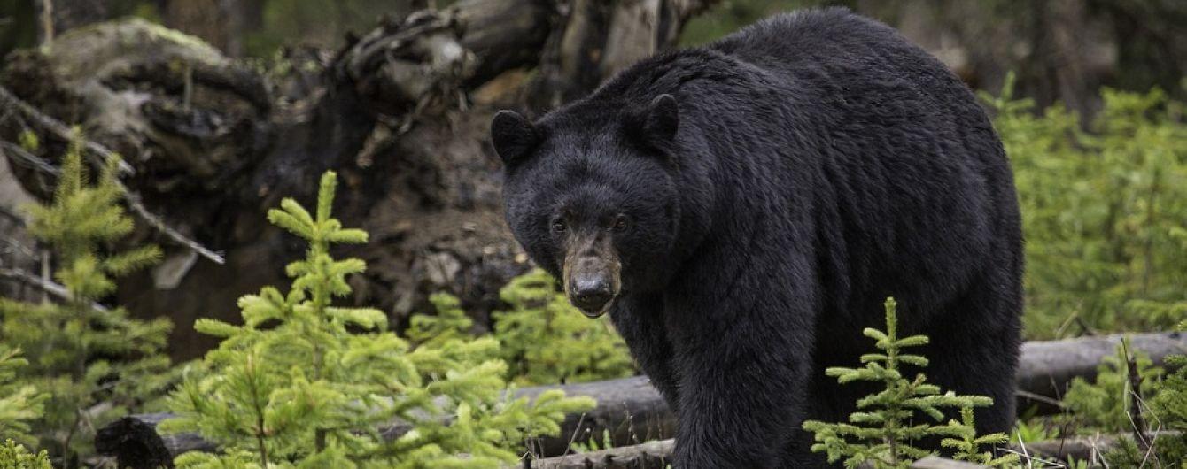 В США черный медведь разорвал двух человек