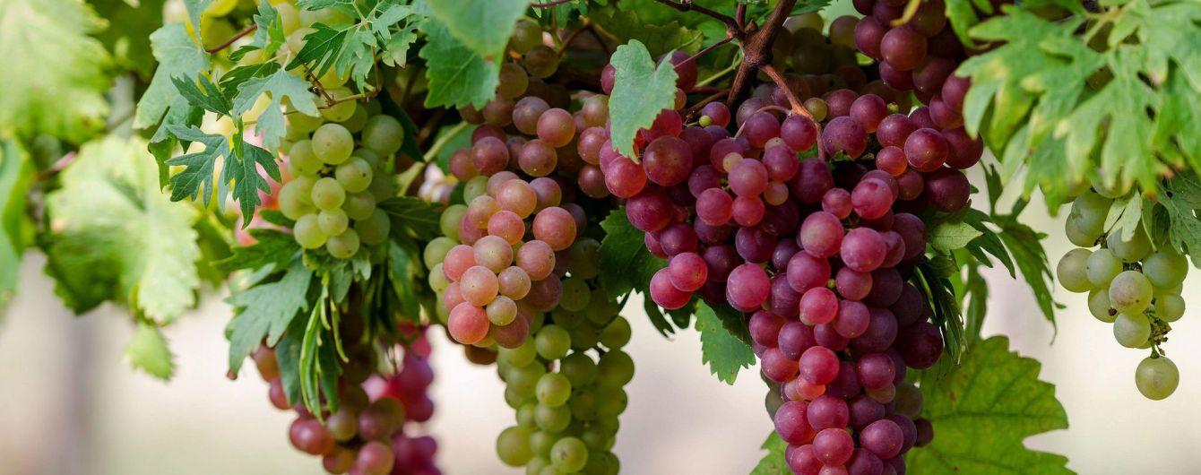 Коблеве: найбільші виноградники України та секрети виготовлення вина