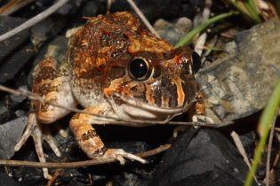 В Індії студентка виявила новий вид носатих жаб