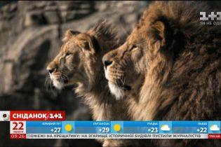 У зоопарку Блекпула лев сам виховує левеня після смерті матері