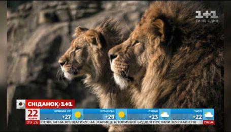 В зоопарке Блэкпула лев сам воспитывает львенка после смерти матери