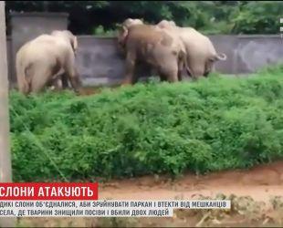 Дикие слоны из Индии объединились, чтобы разрушить забор и убежать от разъяренных крестьян