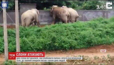 Дикі слони з Індії об'єдналися, аби зруйнувати паркан і втекти від розлючених селян