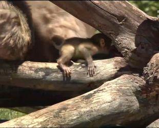 У американському звіринці у Південній Дакоті народилося рідкісне мавпеня