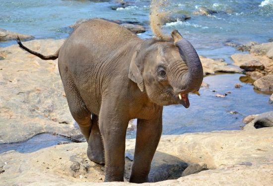 У Мережі з'явилося відео порятунку слоненяти, яке впало у водоймище