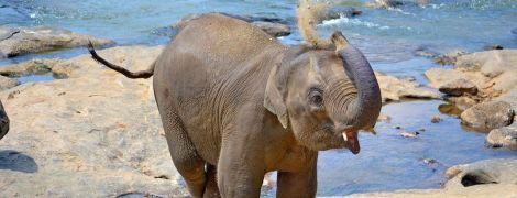 В Сети появилось видео спасения слоненка, который упал в водоем