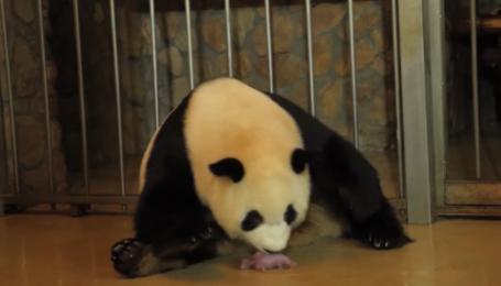 У Китаї зняли рідкісні кадри, як панда народжує близнюків