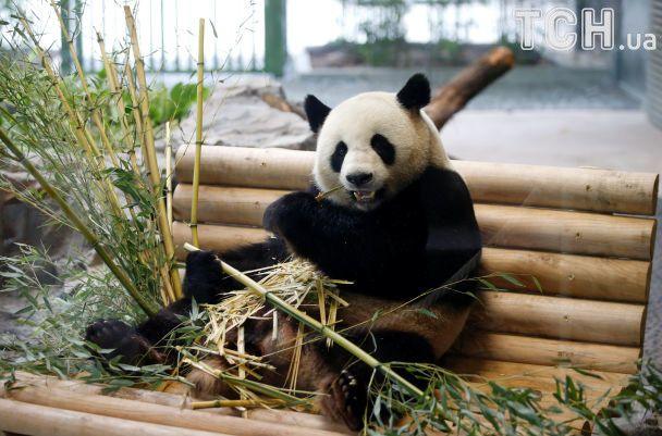 Меркель вместе с президентом Китая посетила панд в зоопарке в Берлине