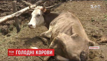 Концтабір для тварин: на Вінниччині сім'я морить голодом понад сотню корів