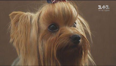Собаки породи йоркширський тер'єр виконують роль мініатюрного охоронця